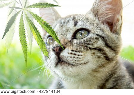 Cat And Hemp. The Cat Is Sniffing A Cannabis Leaf.