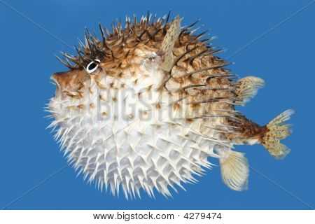 Blow Fish, Side View
