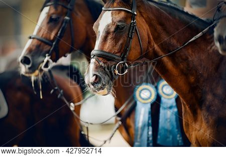 Portrait Sports Brown Stallions In The Bridle After The Competition With Premium Rosettes. Dressage