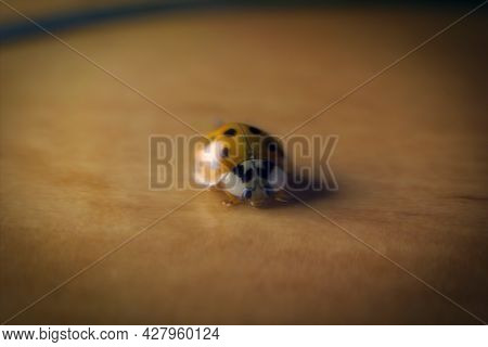 Selective Focus, Macro Close Up Photography Of Coccinellidae , Small Beetles, The Family Is Known As