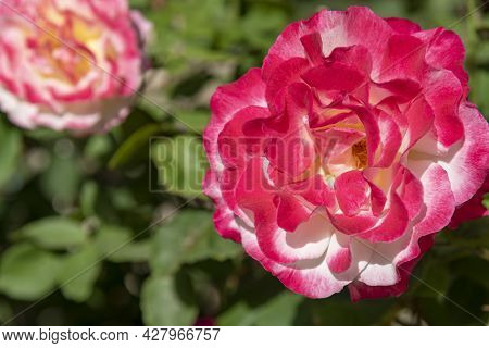 Pink Rose Flower With Raindrops On Background Pink Roses Flowers. Nature. Pink White Rose. On A Gree