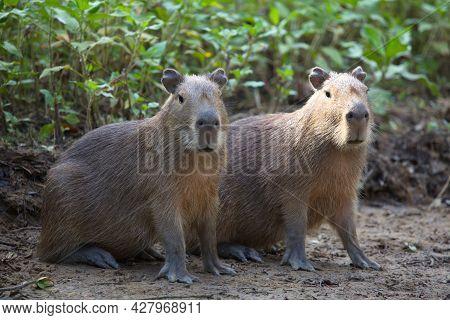 Closeup Portrait Of Two Capybara (hydrochoerus Hydrochaeris) Sitting On Riverbank Looking At Camera