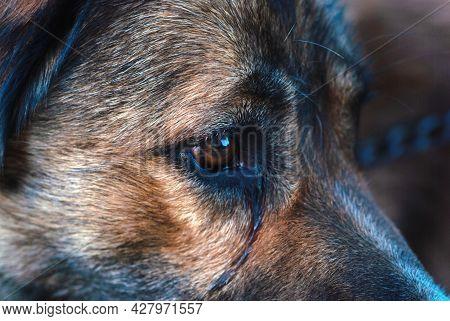 Sad Crying Dog Face, Tearing Eye, Close Up