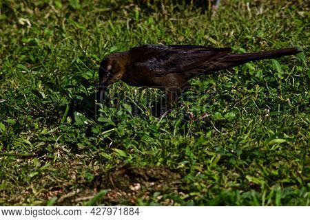 Bronzed Cowbird, Canyon, Texas In The Panhandle Near Amarillo, Summer Of 2021.