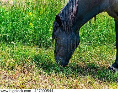 Black Horse Eating Green Grass In The Pasture.