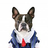 a boston terrier with a suit on poster