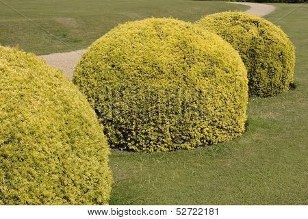 Topiary Yew Bushes In English Country Garden
