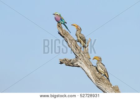 Lilac Breasted Roller And Two Yellow Billed Hornbills