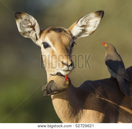 One young female Impala (Aepyceros melampus) being groomed by red billed oxpeckers Botswana poster