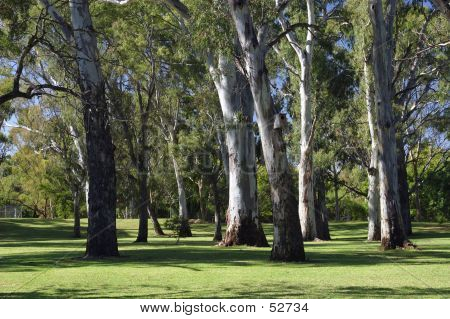 A Group Of Gum Trees...