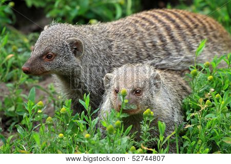 Two animals of The Banded mongoose (Mungos mungo) poster