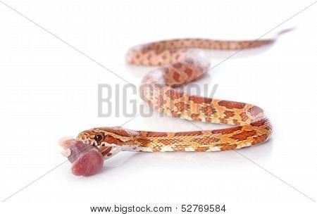 Eating Corn Snake