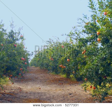 Path Through A Pomegranate Orchard