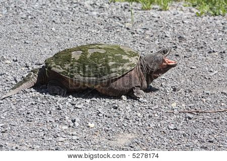 Common Snapping Turtle Tu073
