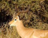 Male Impala Antelope (Aepyceros Melampus) in the Kruger Park South Africa. poster