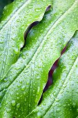 Abstract closeup of green plant leaf with rain droplets poster