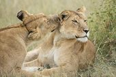 Two female Lions grooming (Panthera leo) in Tanzania poster