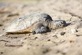 Turtle. Hawaiian sea turtles resting in beach sand relaxed, calm, safe on Big Island, Hawaii, USA. poster