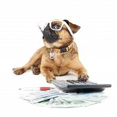 Dog Breed Small Brabant Accountant on a white background poster