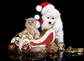 White dog spitz  and kiten Persian  wearing a santa hat, kiten and puppy poster