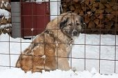 big dog behind grating in winter time poster