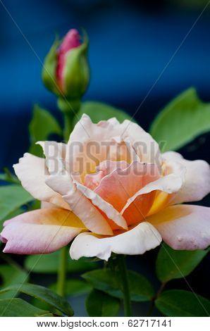Peach Rose & bud