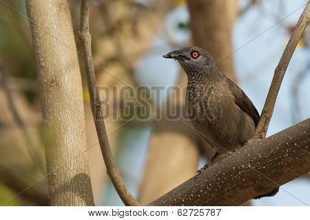 Brown Babbler With Food For It Its Young