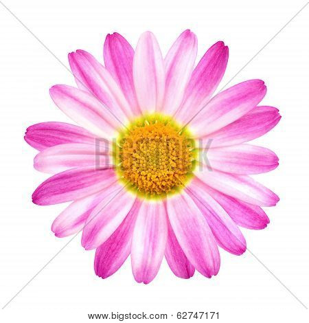 Perfect Pink Daisy On Pure White
