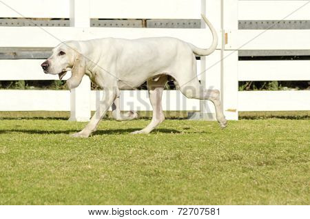 A young white Porcelaine dog walking on the grass The Chien de Franche-Comte has a shiny coat black nose with wide nostrills long floppy drooping ears long neck and is used for hunting poster