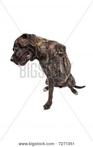 Shy Brindle Mastiff With Paw Out