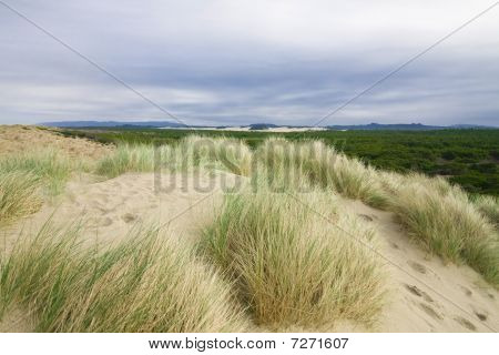 Beach Grass Overlooking The Oregon Dunes