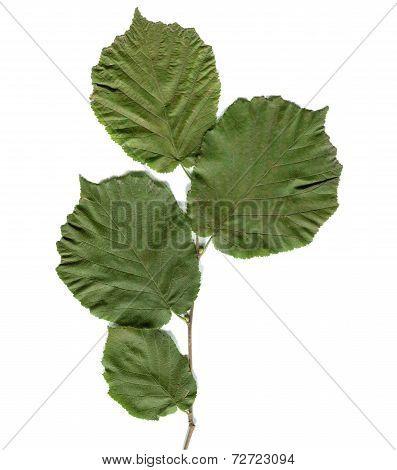 Hazel Tree Leaf