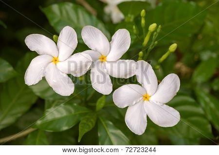 Coffee Blossom, Three White Flowers