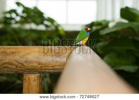 Beautiful Gouldian Finch