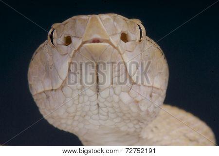 Pit viper head / Protobothrops tokarensis