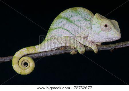 Parson's Chameleon / Calumma parsonii