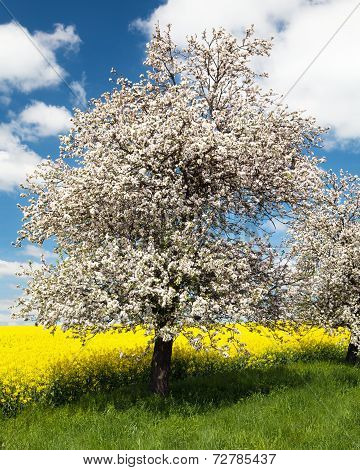 Flowering Apple Tree With Field Of Rapeseed