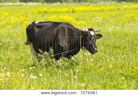 Cow in the meadow solar day,Landscape in a sunny day poster
