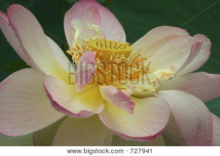 Lotus With Raindrops