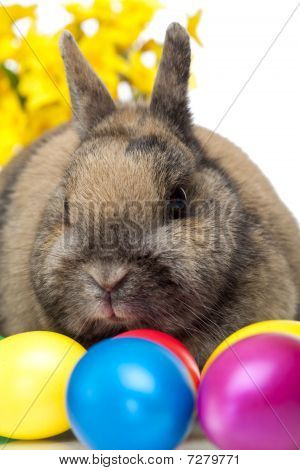 Easter bunny sitting beside colorful Easter eggs and daffodil. Isolated on white Background. poster