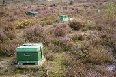 beehives on the heath in holland near Amersfoort on the Utrechtse Heuvelrug poster