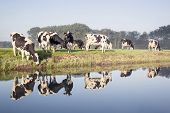 cows in a meadow near zeist in the Netherlands with reflections in the water of a canal poster