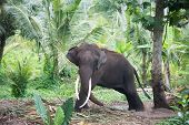 Elephant portrait with large tusks in jungle Sri Lanka poster