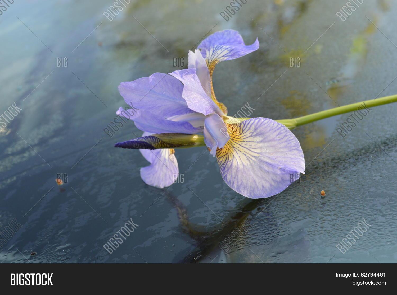 Iris Flower Image Photo Free Trial Bigstock