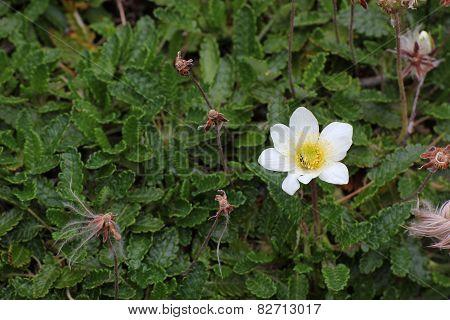 White Dryad Blossom