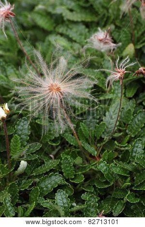 White Dryad Seeds