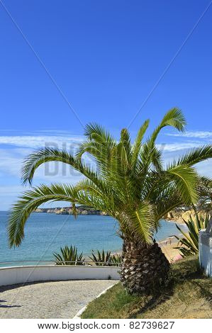 Sago Palm Latin name Cycas revoluta