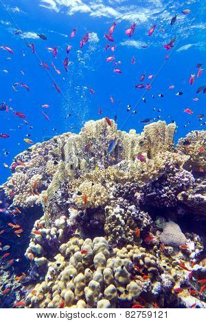 colorful coral reef with exotic fishes anthias at the bottom of tropical sea