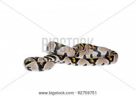 Mandarin Rat Snake isolated on white background.