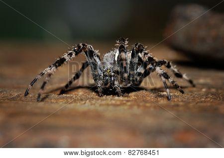 Cross Spider On The Ground